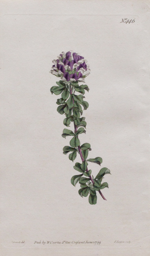 "WILLIAM CURTIS (1746-1799)Flores: ""Psoralea Bracteata"", ""H"