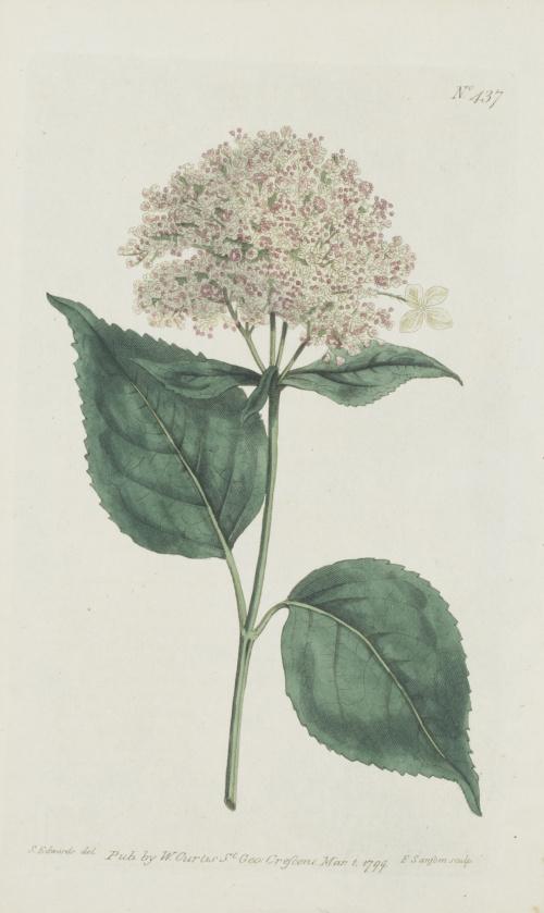 """WILLIAM CURTIS (1746-1799)Flores: """"Oxybaphus Viscosus"""", """"H"""